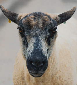 Maria the sheep profile picture
