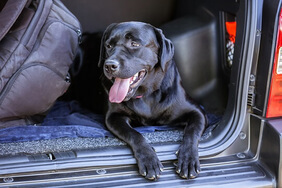 Black Labrador in car boot