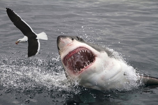 Shark eating bird