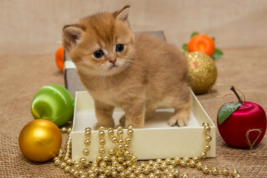 A kitten in a tiny box surrounded by Christmas decorations