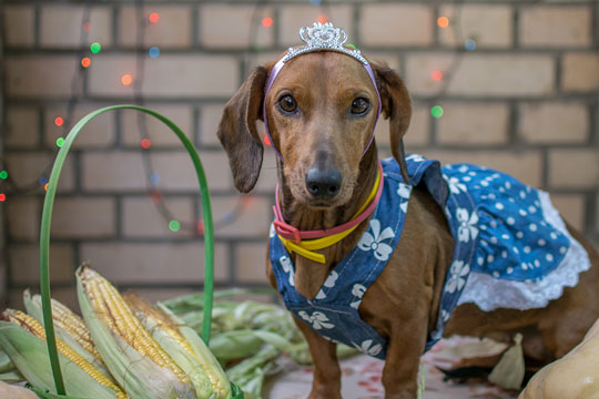 dachshund dressed as princess